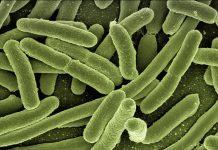 Enterococcus faecalis